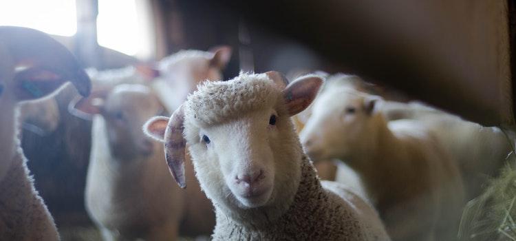 Ūkinių gyvūnų bandų analizė Lietuvoje