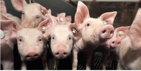 Kiaulių bandos kitimo tendencijos Lietuvoje ir ES-28