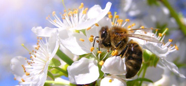 Bičių augintojai jau gali teikti paraiškas paramai už papildomą bičių maitinimą (cukrų) gauti
