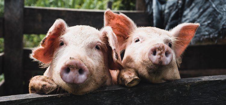 Nuo rugpjūčio 10 d. galima teikti paraiškas kiaulių laikytojams