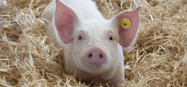 Prasidėjo antro etapo už parduotus skerdimui galvijus ir kiaules paraiškų rinkimas