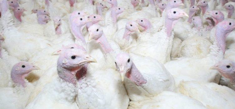 Paukščių laikytojai, susiduriantys su ekonominiais sunkumais dėl COVID-19 viruso protrūkio, lapkričio 3–13 dienomis kviečiami teikti paraiškas laikinajai valstybės pagalbai gauti