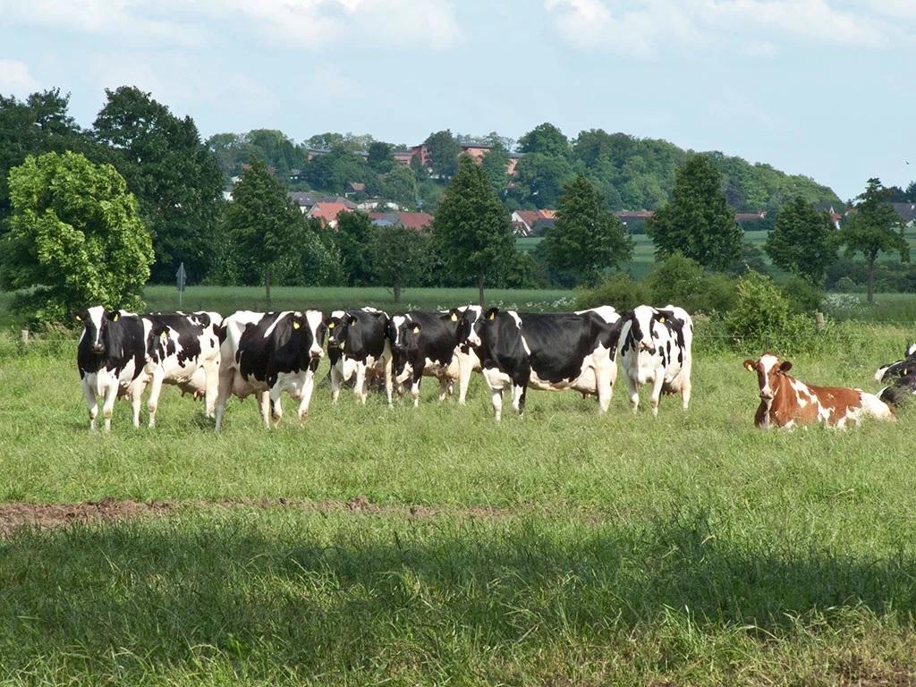 Paramos už pieną ir pienines karves įgyvendinimas